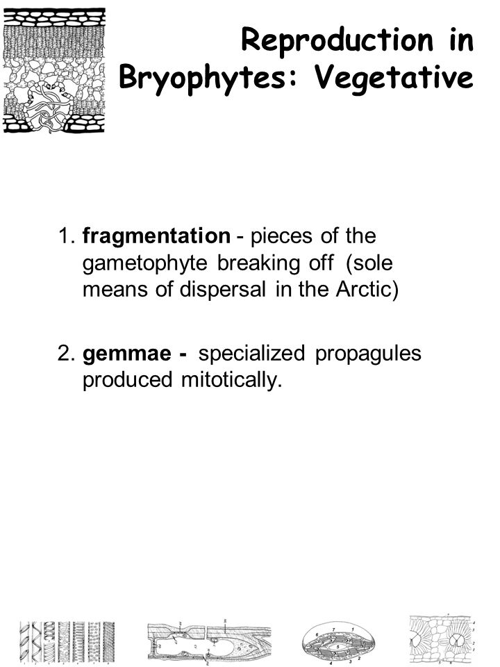 Reproduction in Bryophytes: Vegetative
