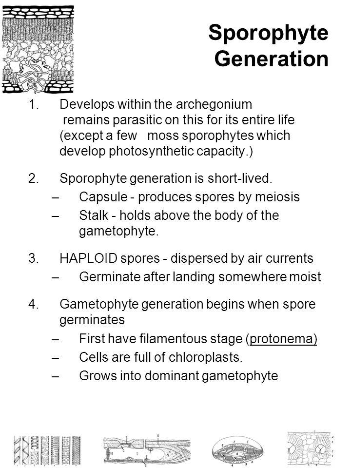 Sporophyte Generation