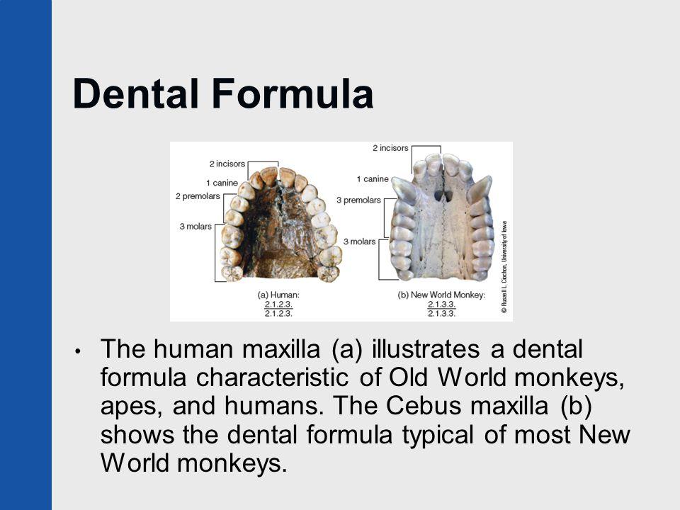 Baboon Monkey Showing Teeth Stock Photo 10770985 - Shutterstock
