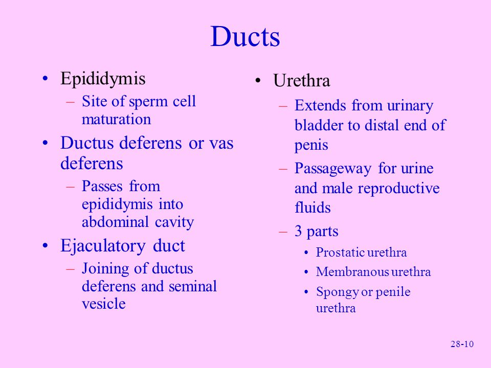 Ducts Epididymis Ductus deferens or vas deferens Ejaculatory duct