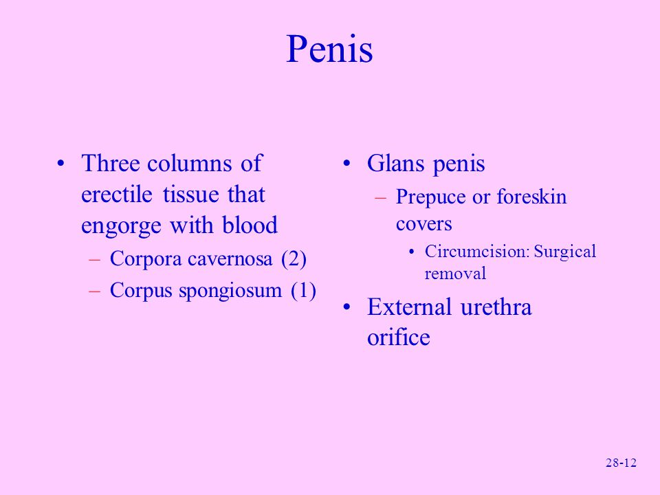 Penis Three columns of erectile tissue that engorge with blood