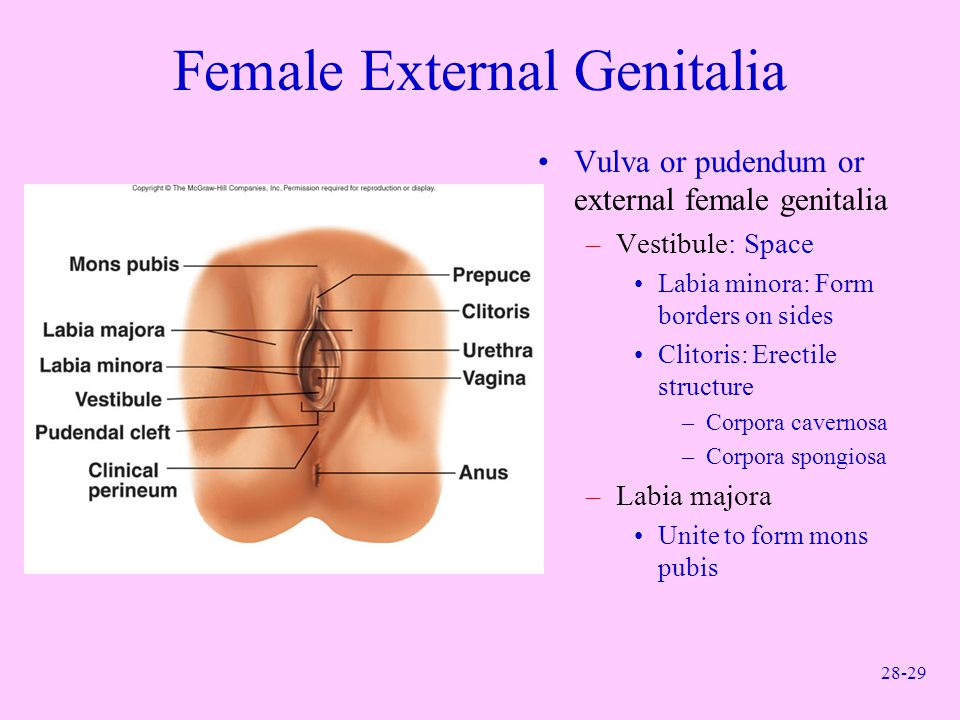 Female External Genitalia