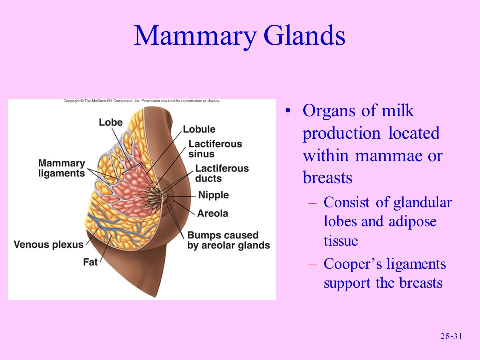 Mammary Glands Organs of milk production located within mammae or breasts. Consist of glandular lobes and adipose tissue.
