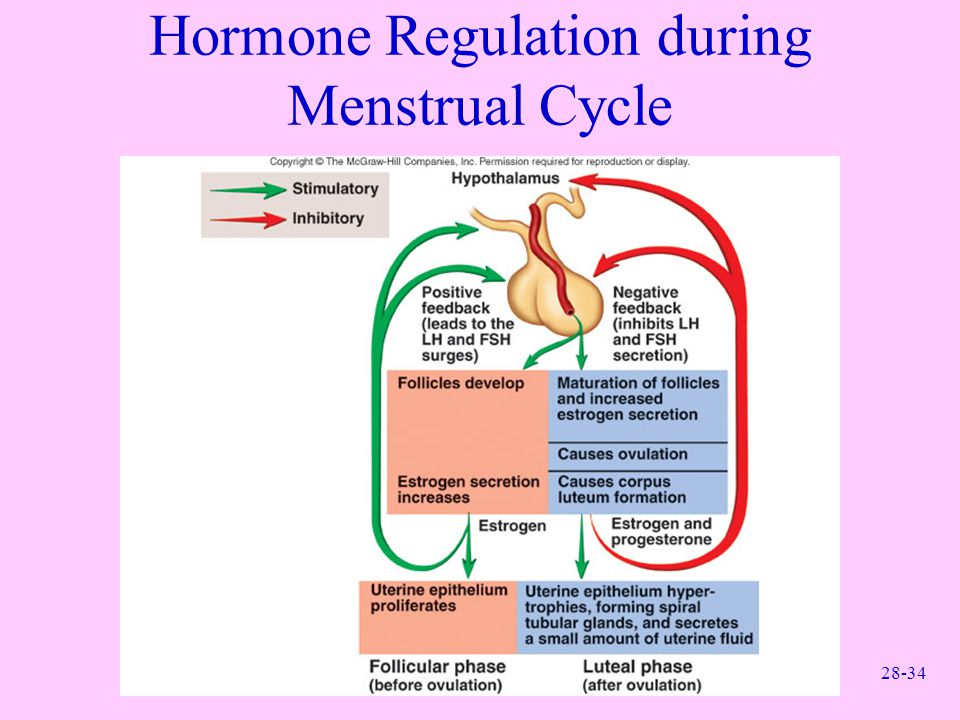 Hormone Regulation during Menstrual Cycle