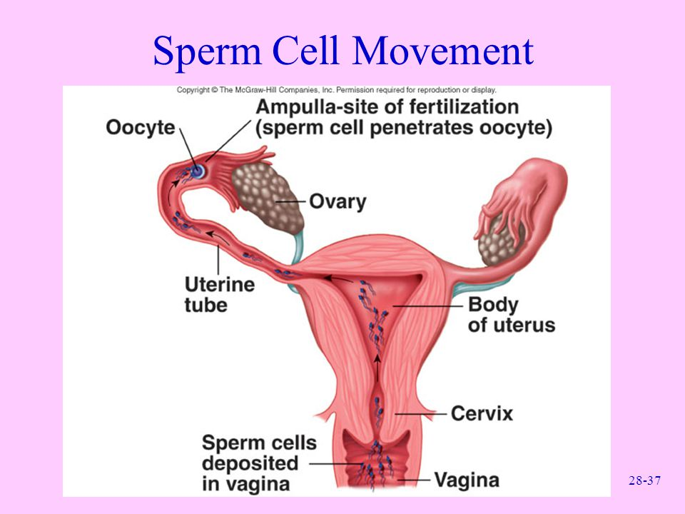 Sperm Cell Movement