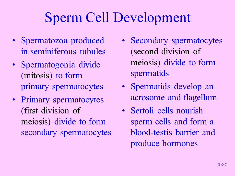 Sperm Cell Development