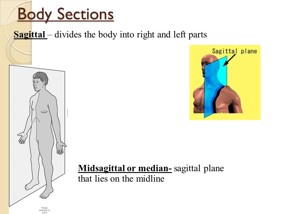 Body Sections Sagittal – divides the body into right and left parts