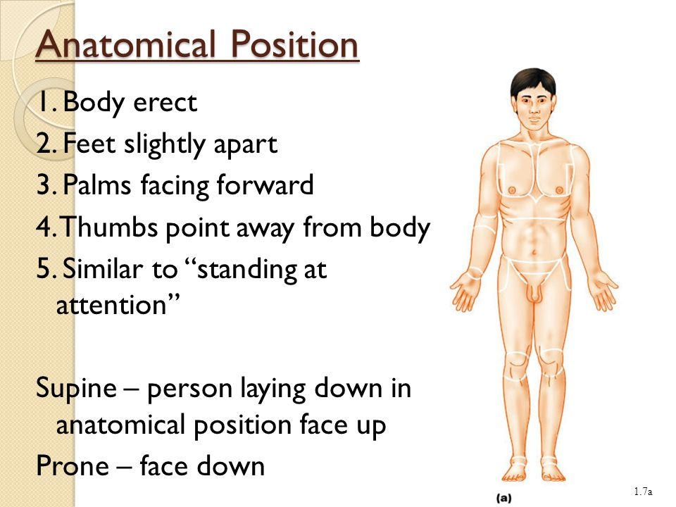 Anatomic Position Legal Definition Of Anatomic Position 623100