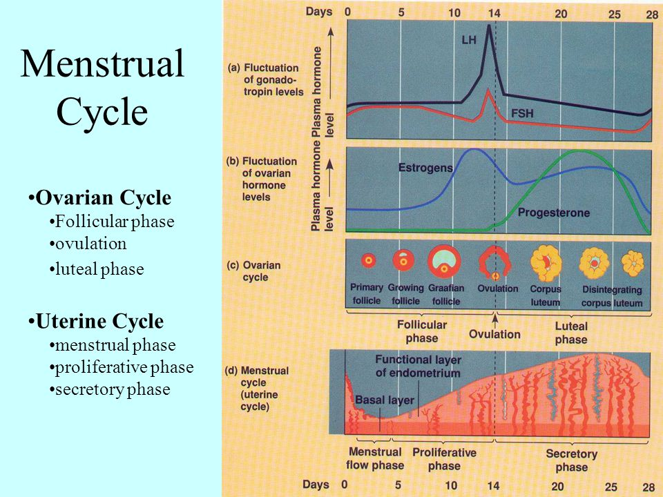 Menstrual Cycle Ovarian Cycle Uterine Cycle Follicular phase ovulation