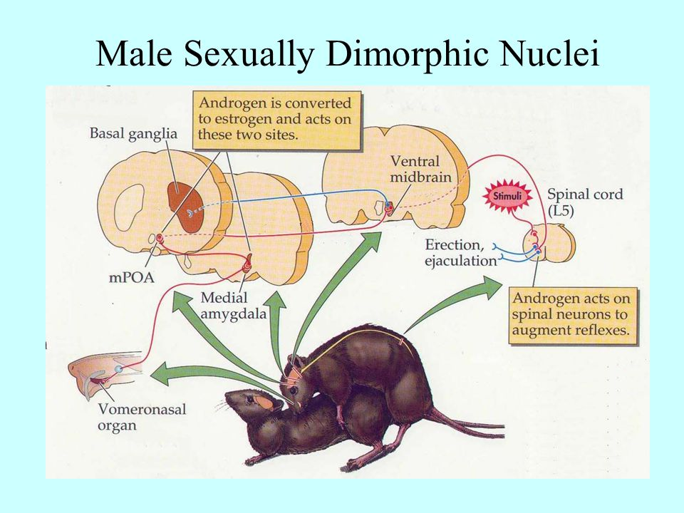 Male Sexually Dimorphic Nuclei
