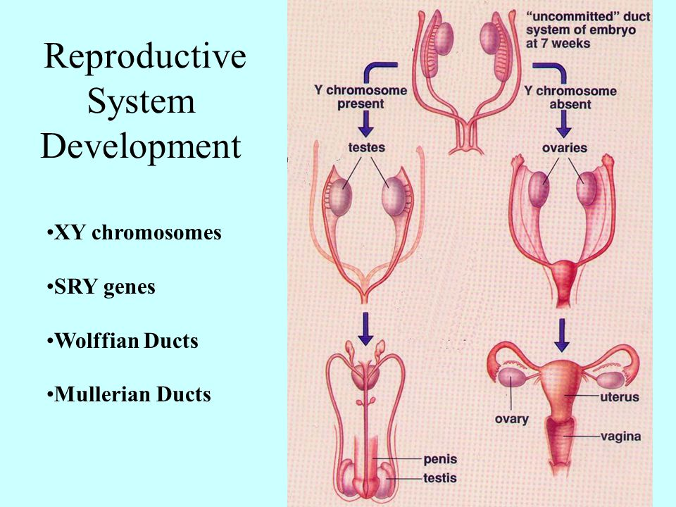 Reproductive System Development