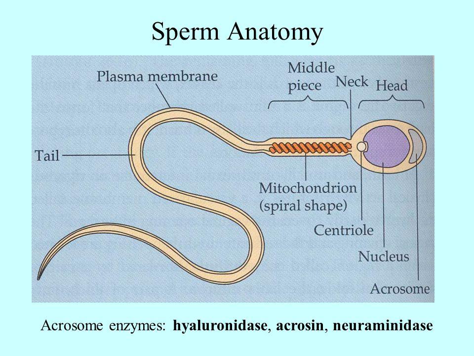 Sperm Anatomy Acrosome enzymes: hyaluronidase, acrosin, neuraminidase