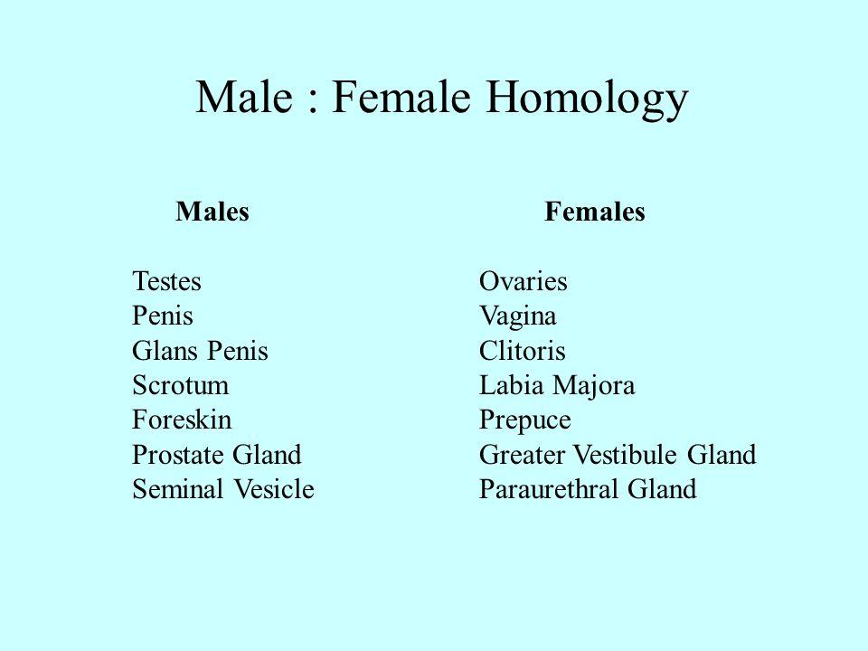 Male : Female Homology Males Females Testes Ovaries Penis Vagina
