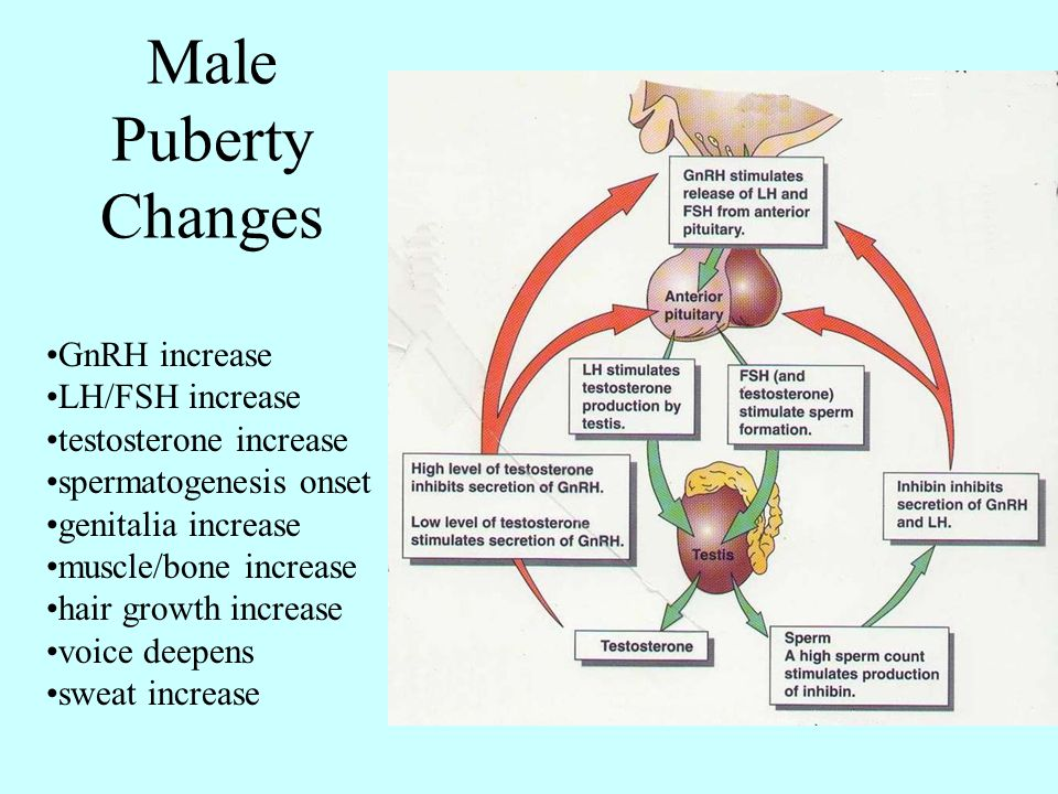 Male Puberty Changes GnRH increase LH/FSH increase