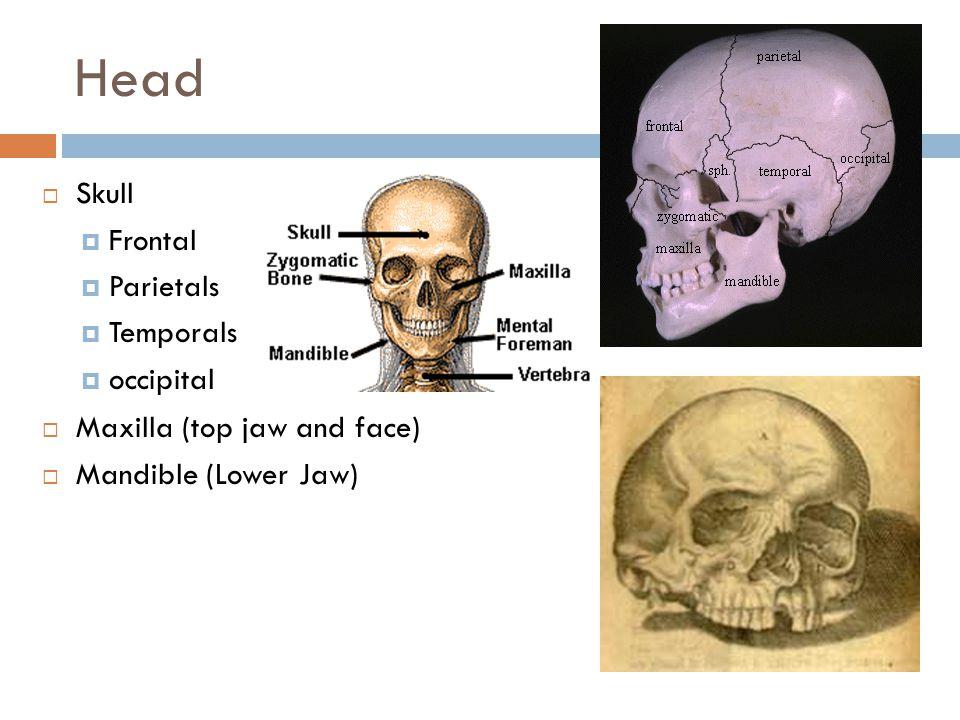 Head Skull Frontal Parietals Temporals occipital