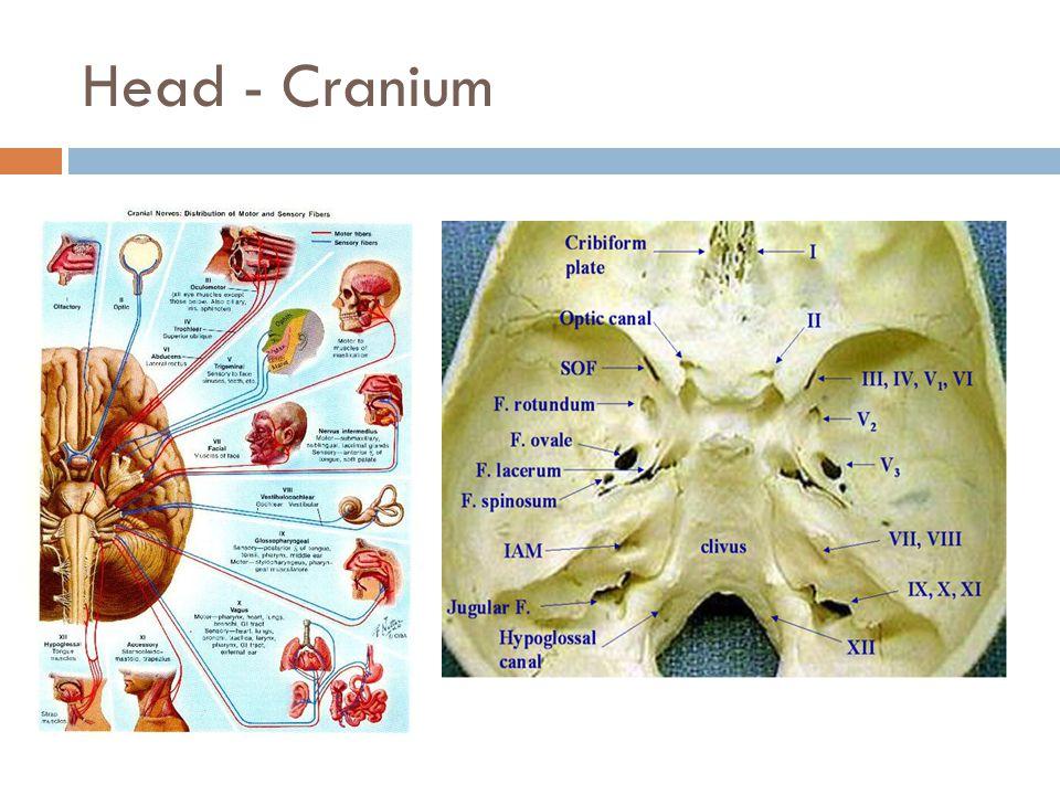 Head - Cranium