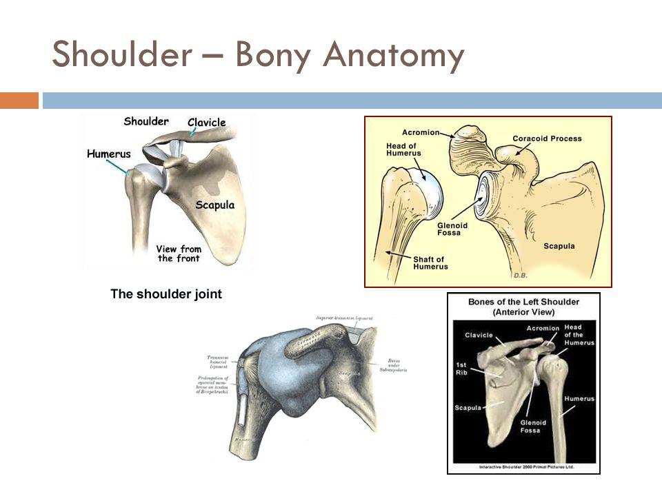 Shoulder – Bony Anatomy