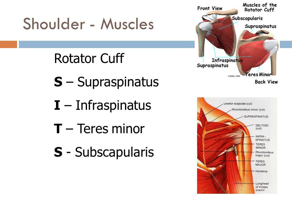 Shoulder - Muscles Rotator Cuff S – Supraspinatus I – Infraspinatus