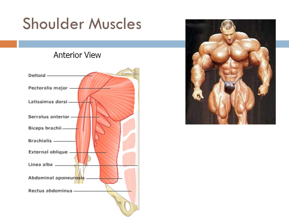 Shoulder Muscles Anterior View