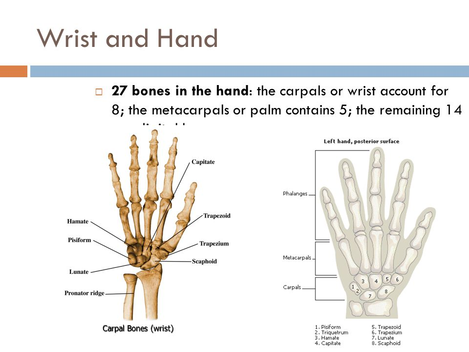 Wrist and Hand 27 bones in the hand: the carpals or wrist account for 8; the metacarpals or palm contains 5; the remaining 14 are digital bones.