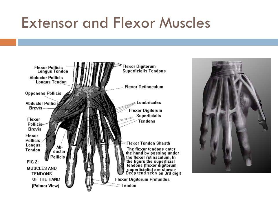 Extensor and Flexor Muscles