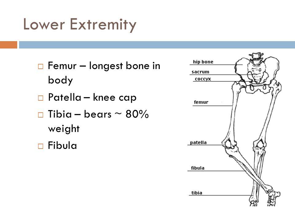 Lower Extremity Femur – longest bone in body Patella – knee cap