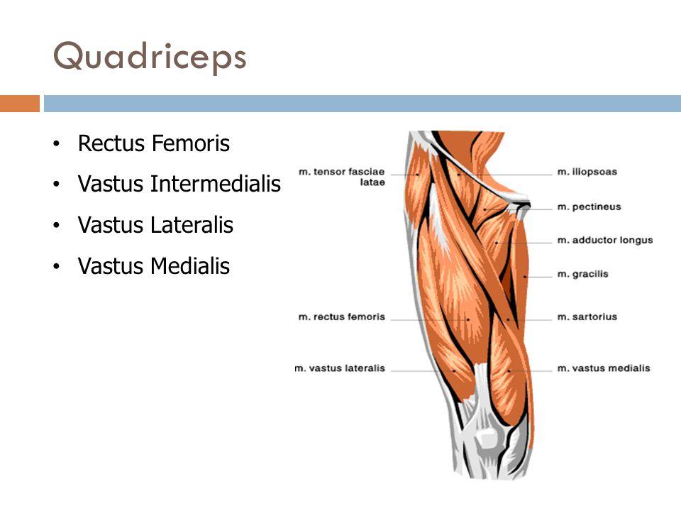 Quadriceps Rectus Femoris Vastus Intermedialis Vastus Lateralis