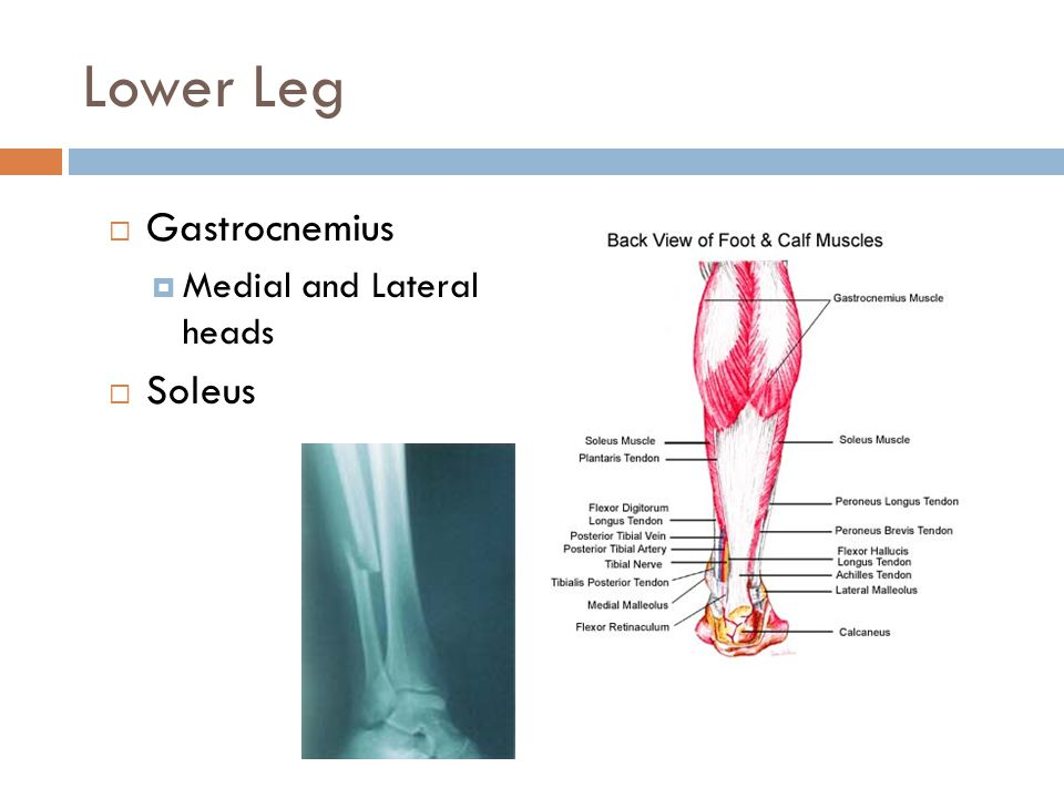 Lower Leg Gastrocnemius Medial and Lateral heads Soleus