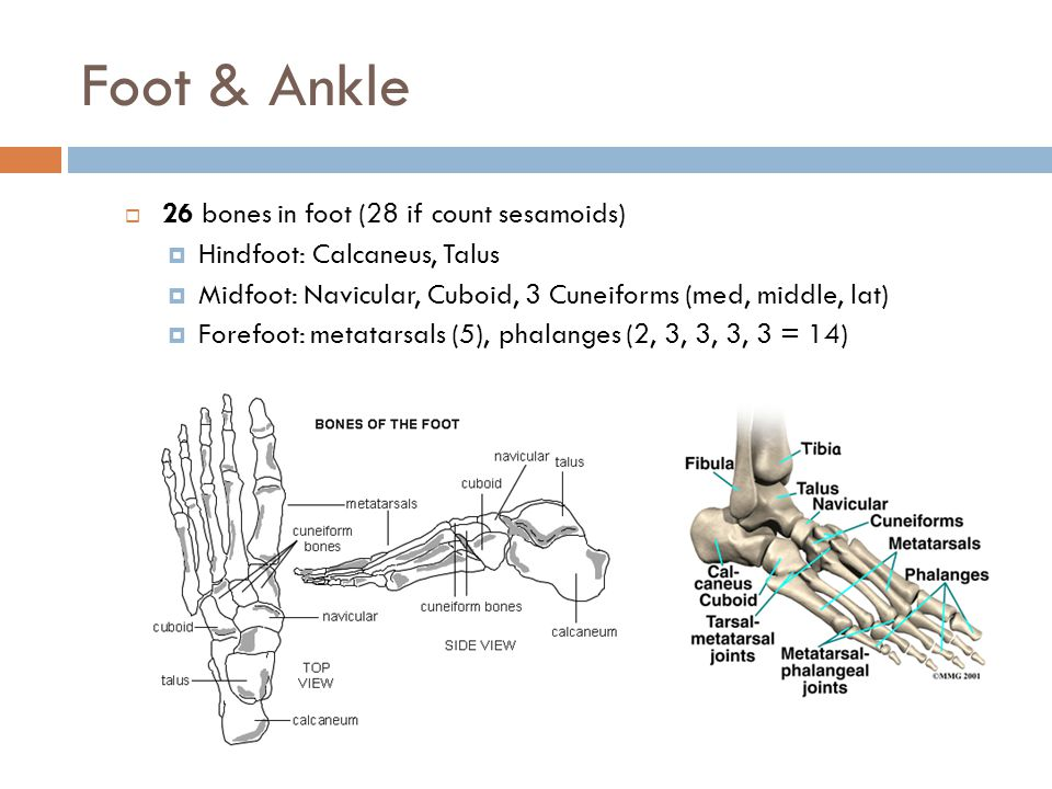 Foot & Ankle 26 bones in foot (28 if count sesamoids)