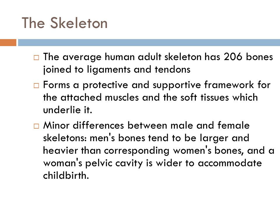 The Skeleton The average human adult skeleton has 206 bones joined to ligaments and tendons.