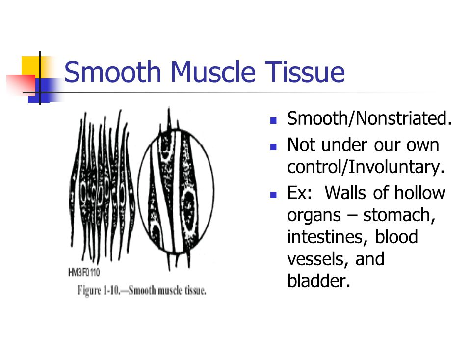 Smooth Muscle Tissue Smooth/Nonstriated.