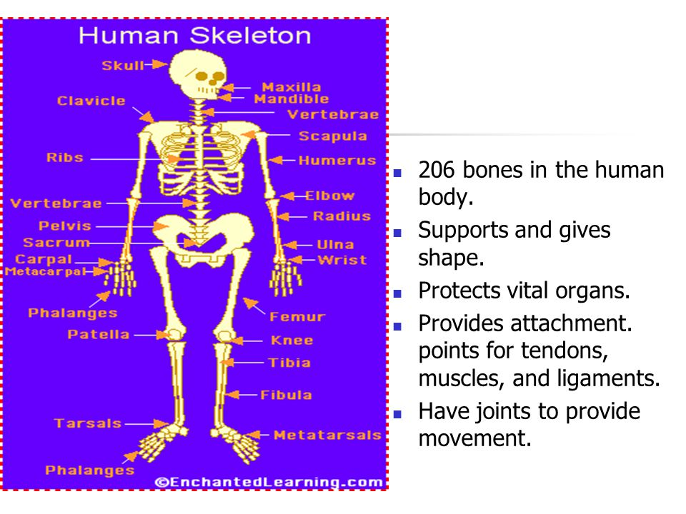 Skeletal System 206 bones in the human body. Supports and gives shape.
