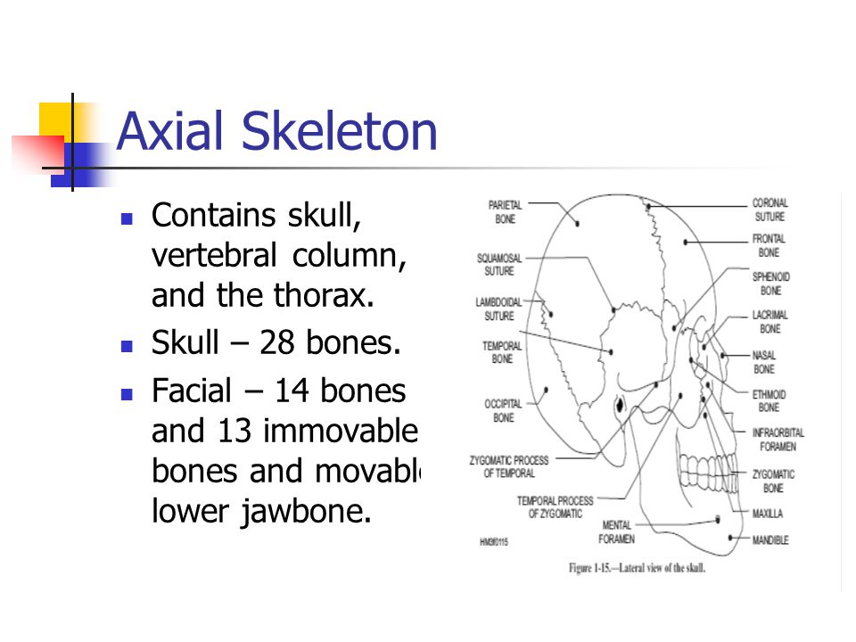 Axial Skeleton Contains skull, vertebral column, and the thorax.