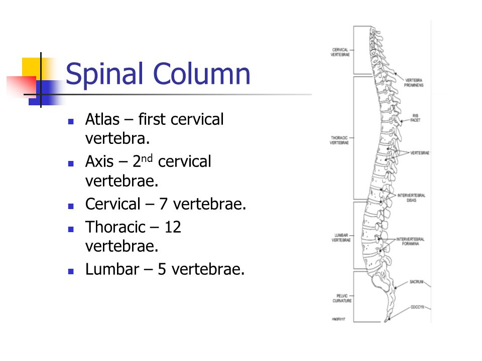 Spinal Column Atlas – first cervical vertebra.