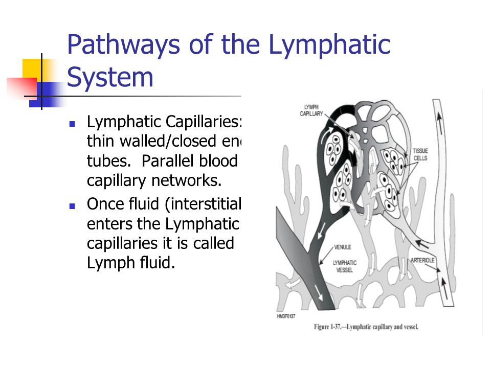 Pathways of the Lymphatic System