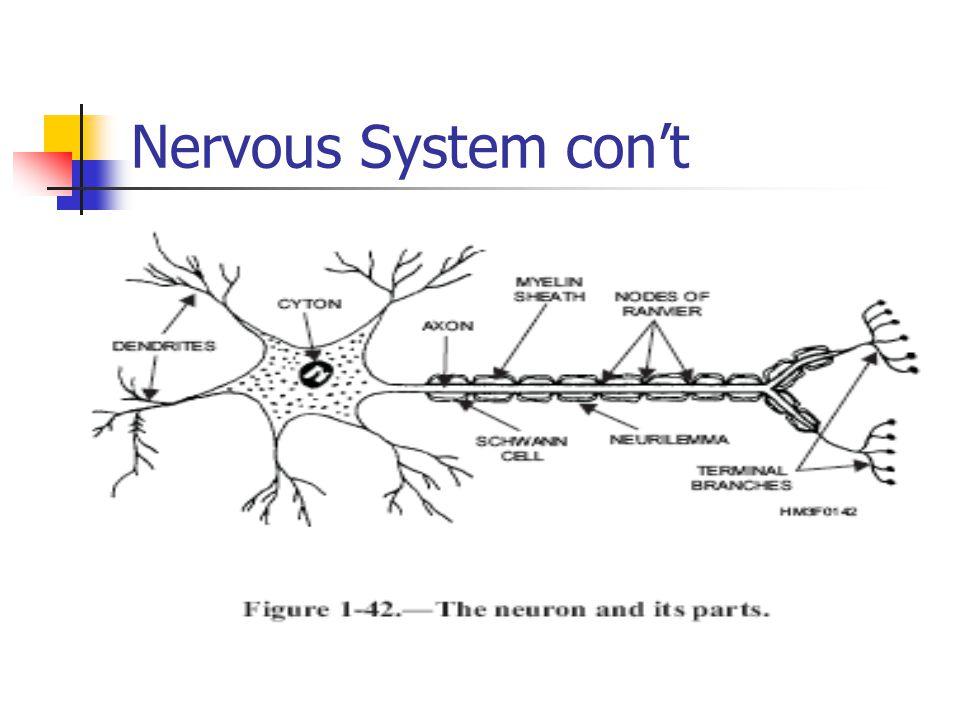 Nervous System con't