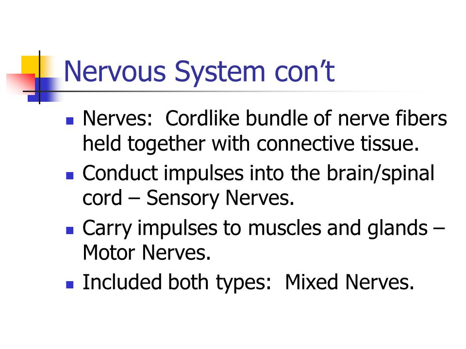 Nervous System con't Nerves: Cordlike bundle of nerve fibers held together with connective tissue.