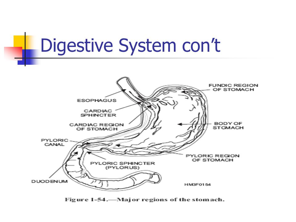 Digestive System con't