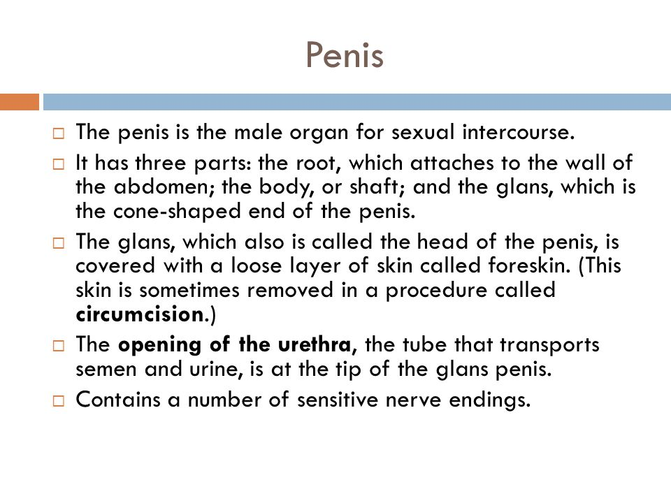Penis The penis is the male organ for sexual intercourse.
