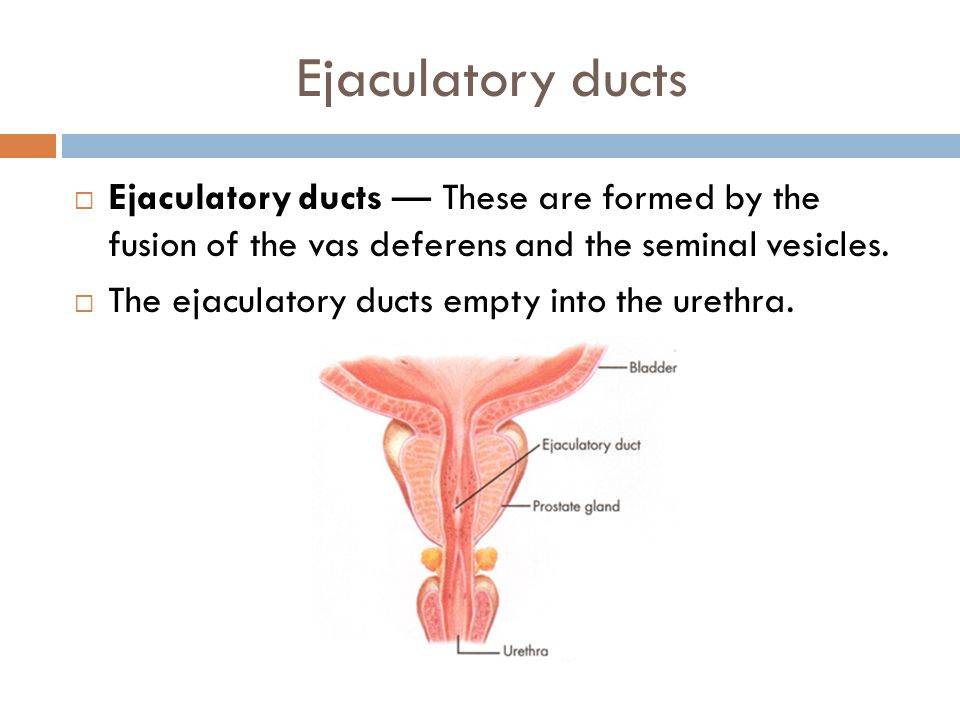 Ejaculatory ducts Ejaculatory ducts — These are formed by the fusion of the vas deferens and the seminal vesicles.