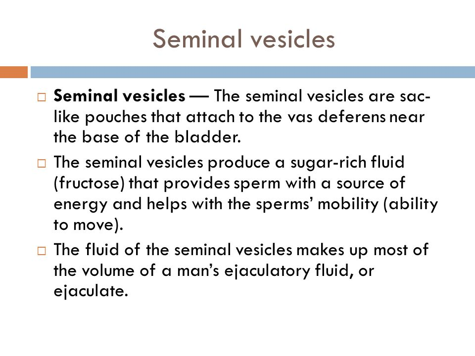 Seminal vesicles Seminal vesicles — The seminal vesicles are sac- like pouches that attach to the vas deferens near the base of the bladder.