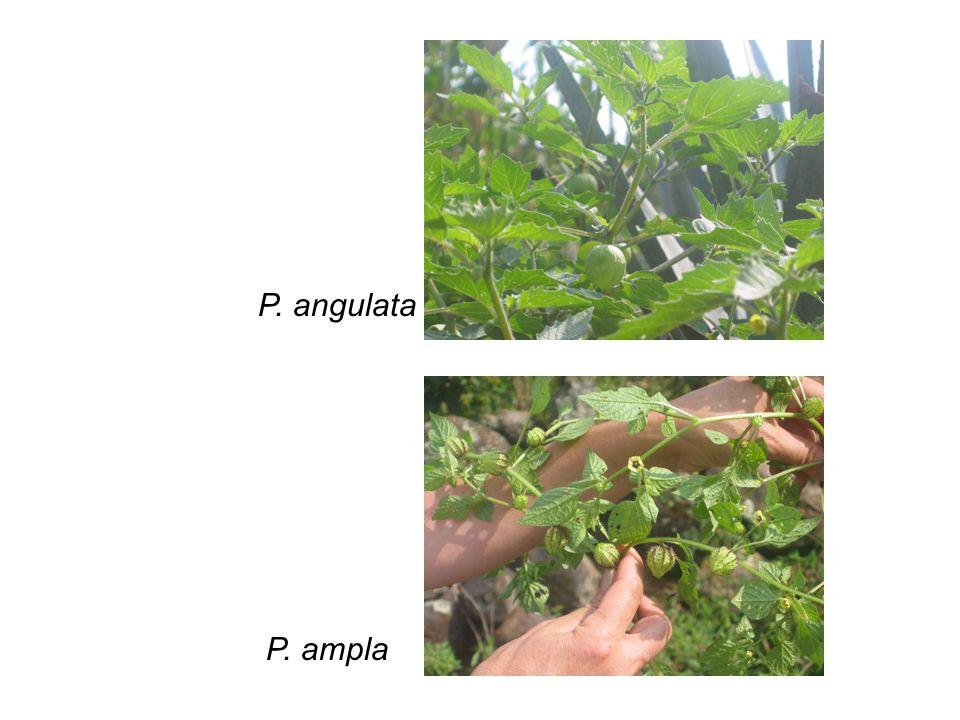 P. angulata P. ampla