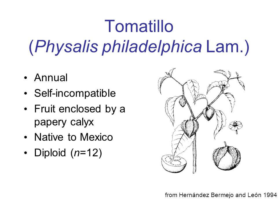 Tomatillo (Physalis philadelphica Lam.)