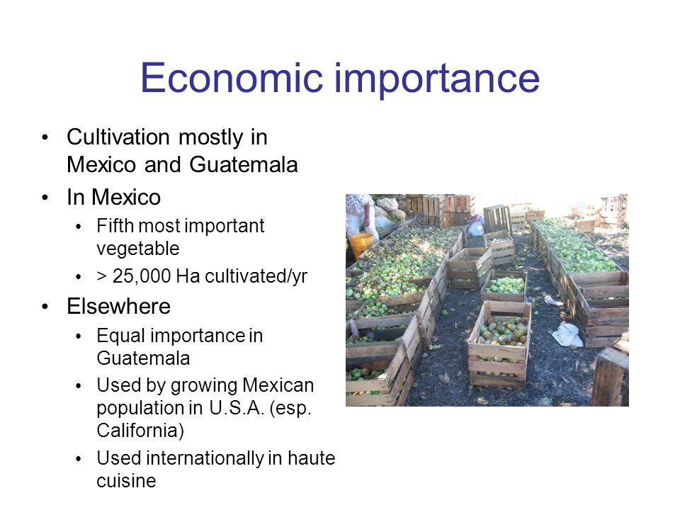 Economic importance Cultivation mostly in Mexico and Guatemala