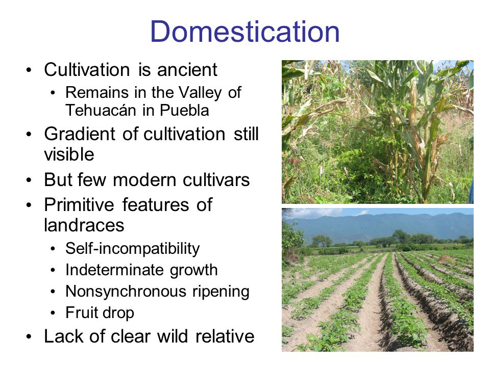 Domestication Cultivation is ancient