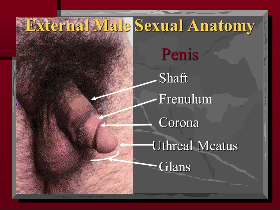 External Male Sexual Anatomy