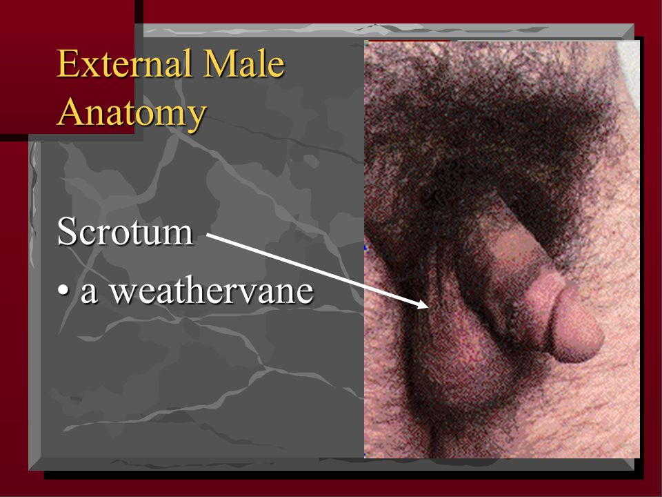 External Male Anatomy Scrotum • a weathervane