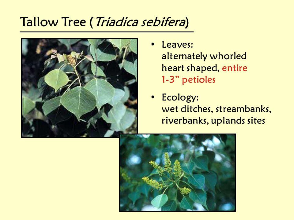 Tallow Tree (Triadica sebifera)
