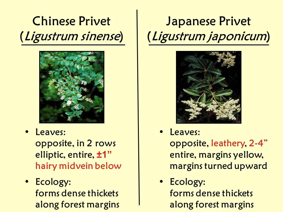 (Ligustrum japonicum)