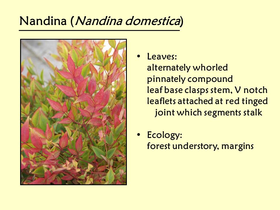 Nandina (Nandina domestica)